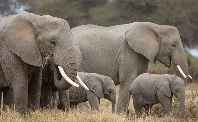 rêver d'éléphant ?