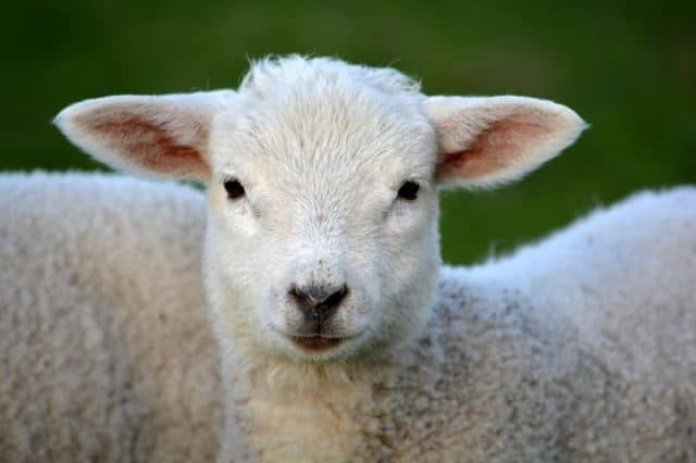 Toutes les superstitions et croyances au sujet de l'agneau