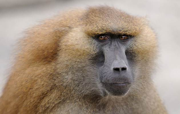 Pourquoi rêver de babouin ?