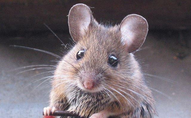 Pourquoi rêver de souris ?