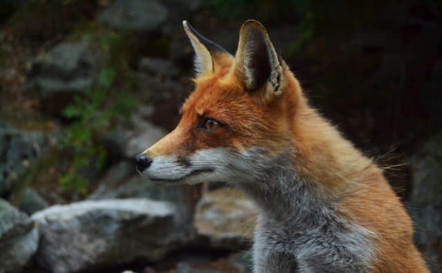 Pourquoi rêver de renard ?