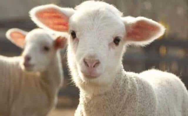 Pourquoi rêver d'agneau ?