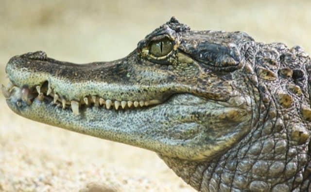Pourquoi rêver d'alligator ?