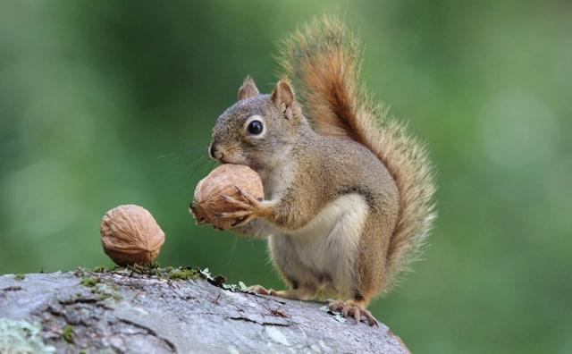 Pourquoi rêver d'écureuil ?