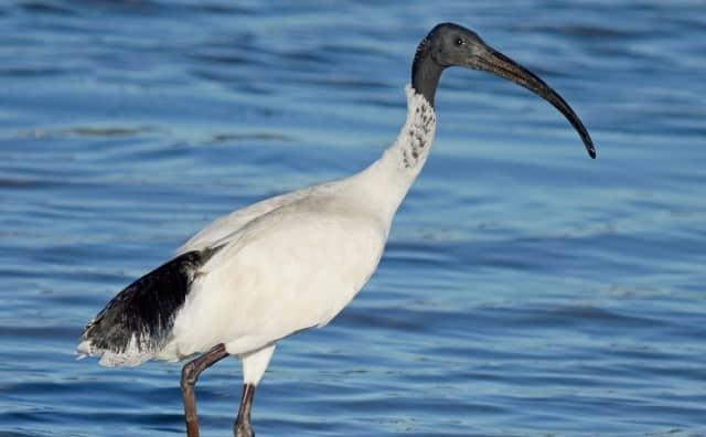 Pourquoi rêver d'ibis ?