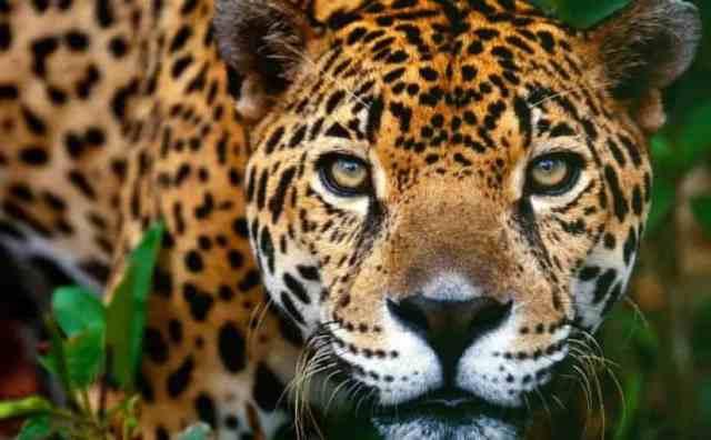 Pourquoi rêver de jaguar ?