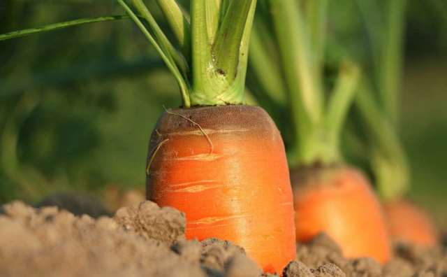 rêver de carottes