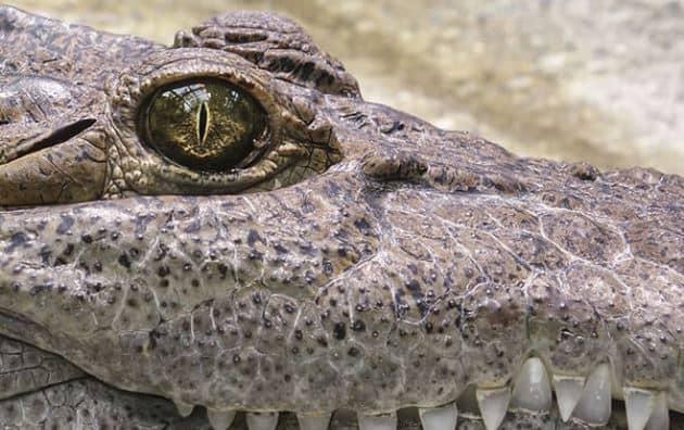 rêver de crocodile dans la maison