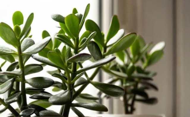 plantes pour attirer l'argent :