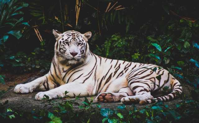 Rêver de tigre signification