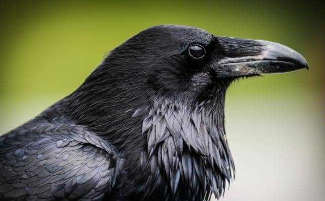 rêver de corbeaux
