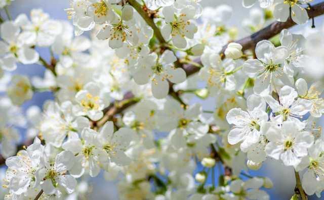 Fleur d'abricotier et symbole