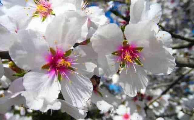 Fleur d'amandier et symbole