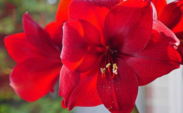 Fleur Amaryllis symbole