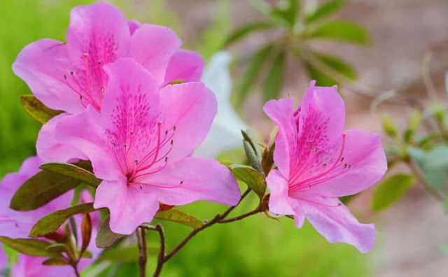 Fleur l'azalée et symbole