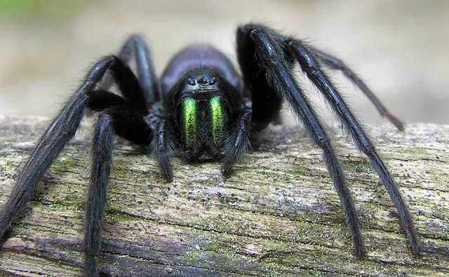 rêver d'araignée noire