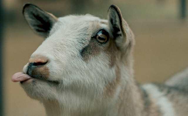 rêver de chèvre