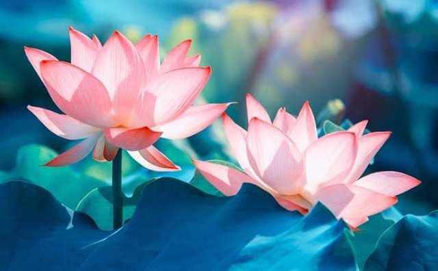 rêver de lotus