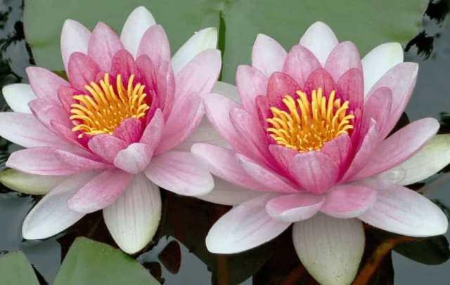 Significations Spirituelles du lotus