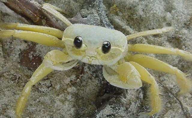 rêver de crabe blanc