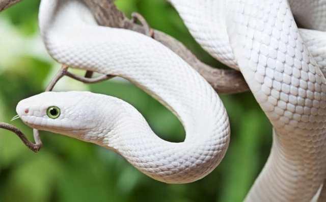rêver de serpent blanc